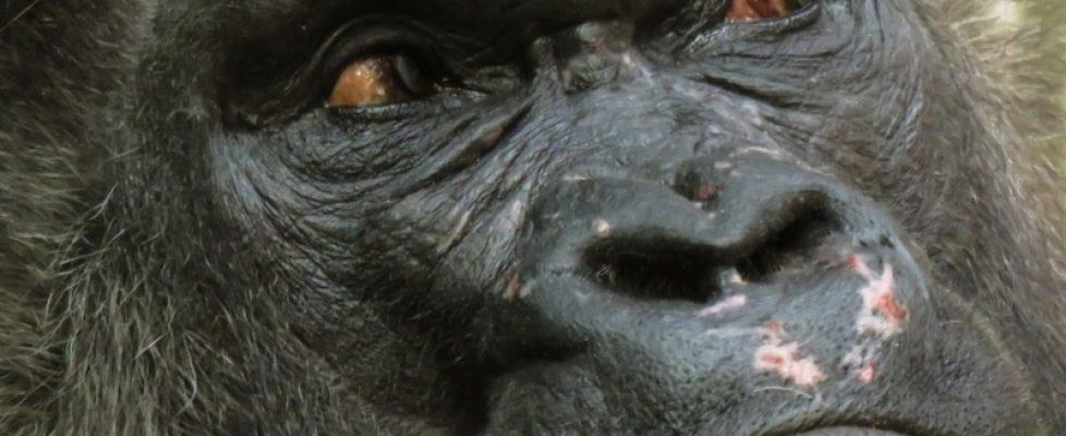 Gorilla eyes 800